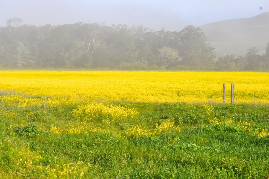 Pescadero mustard cover crops
